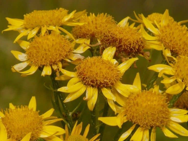 Gelbe Arnika Blüten