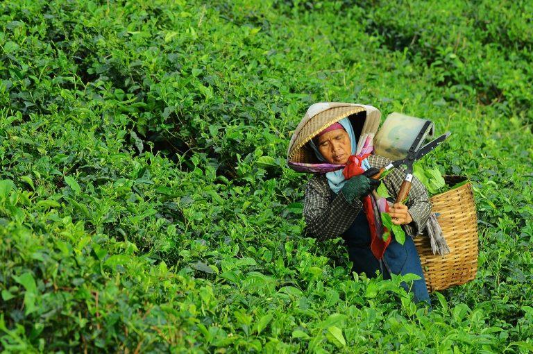 Weidenröschen Tee-3